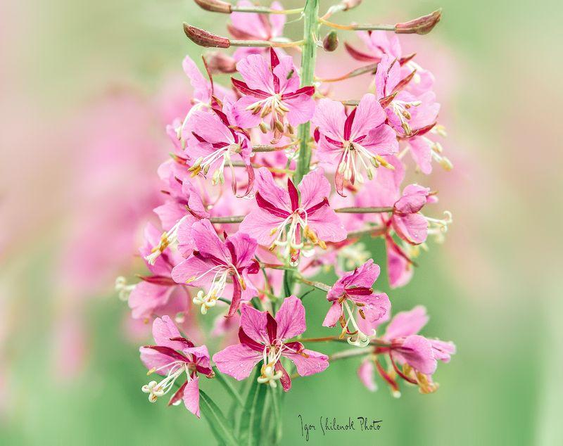 цветы, лето, иван чай, кипрей, лук Летние зарисовкиphoto preview
