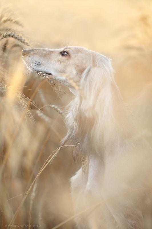 салюки, борзая, собака, поле, рассвет, dog, sunrise, saluki Медовое утроphoto preview
