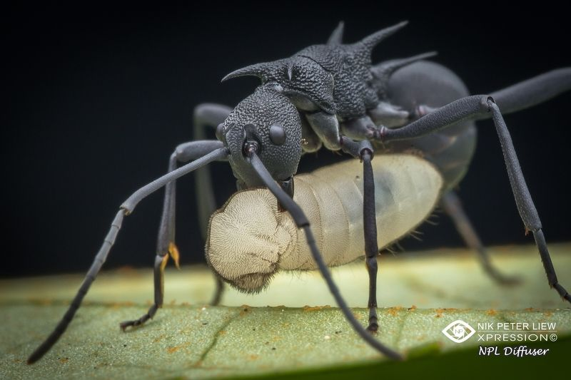 #spiny ant #nature #npl The Food of LIFEphoto preview