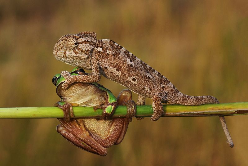 tree frog, chameleon, shut up, humor, animal, macro, shut up!photo preview