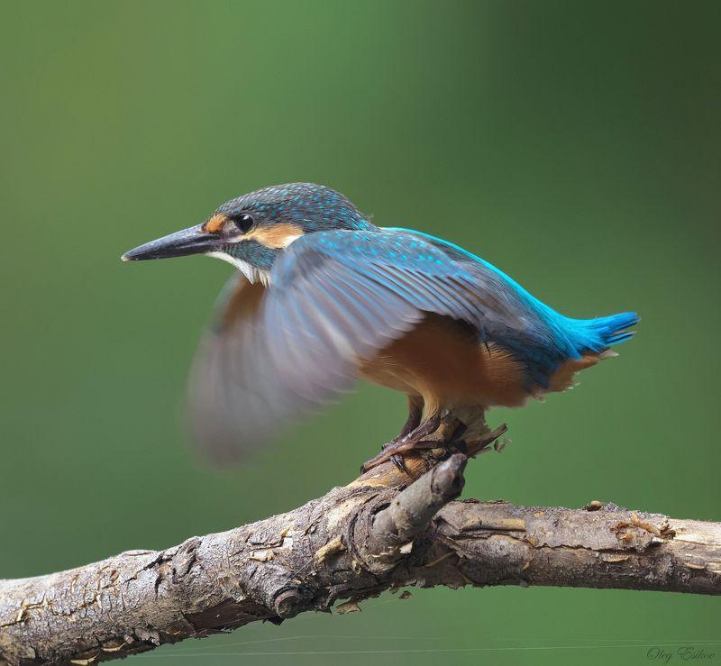 птицы,зимородок Лапки скрестившиphoto preview
