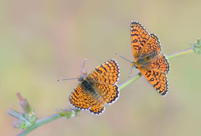 бабочки шашечницы Давай знакомиться!photo preview