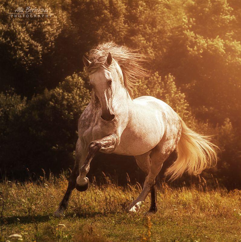 поле, лошадь, field, horse Андалузский жеребец Bucefalo XXXIIphoto preview