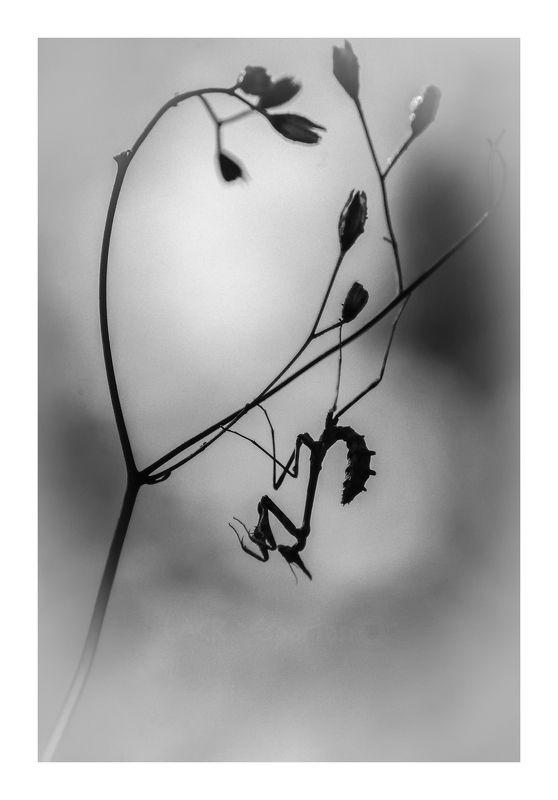 macro insects empusa  Sombra de ninfaphoto preview