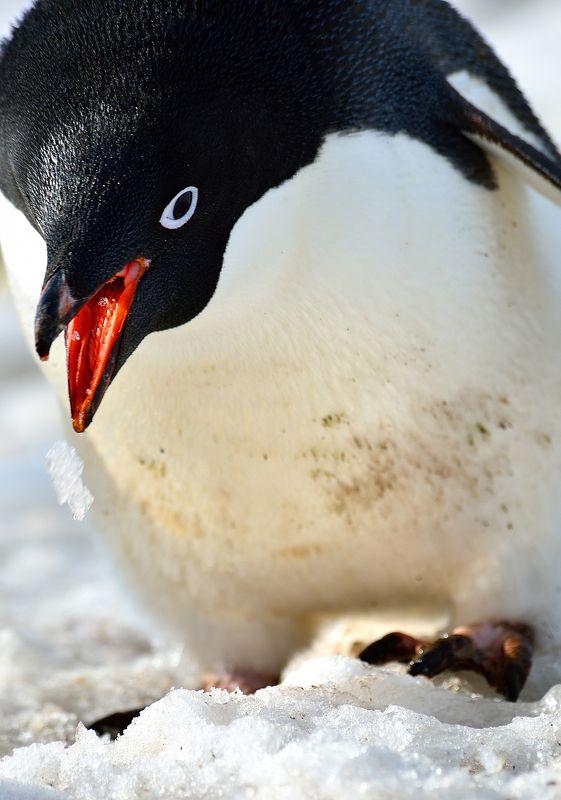 антарктида,пингвины, генту, льды, путешествия, природа С дорогиphoto preview