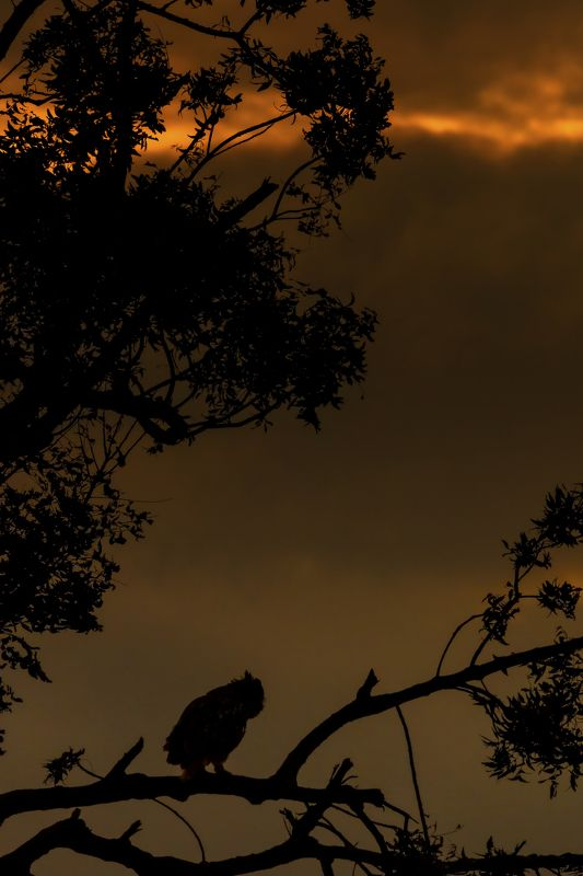 indian eagle owl Owl-scapephoto preview