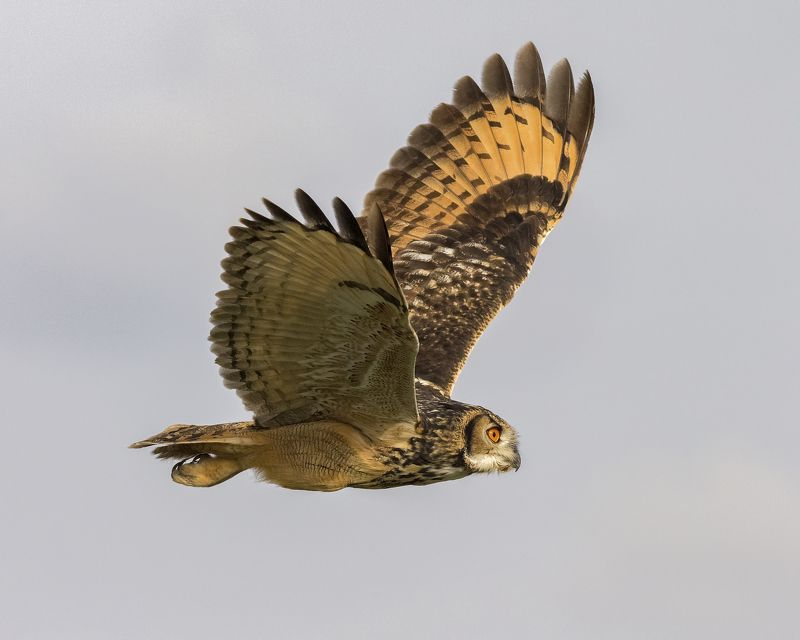 Indian Eagle Owlphoto preview