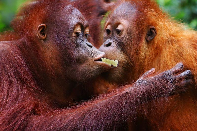 орангутанг, обезьяна, общение, внимание, диалог Угостить любимуюphoto preview