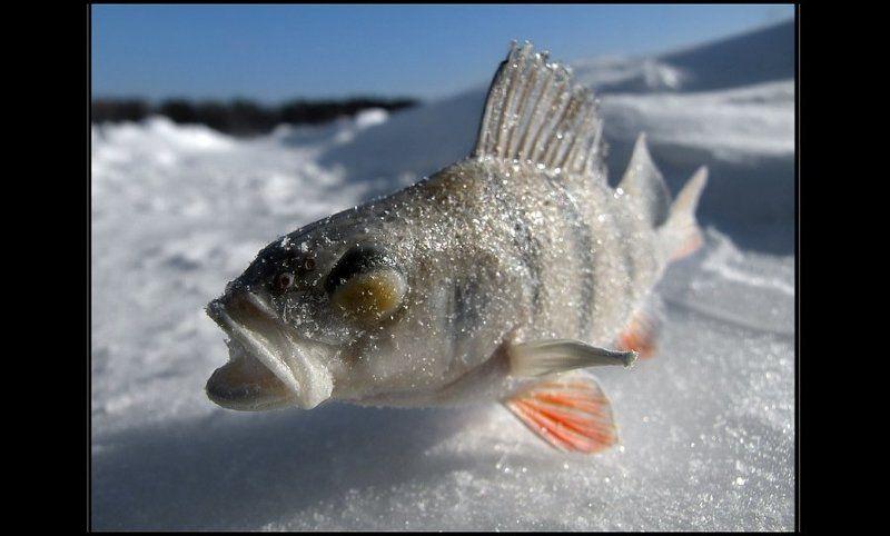 окунь, рыбалка Подмёрзшая модель :)photo preview
