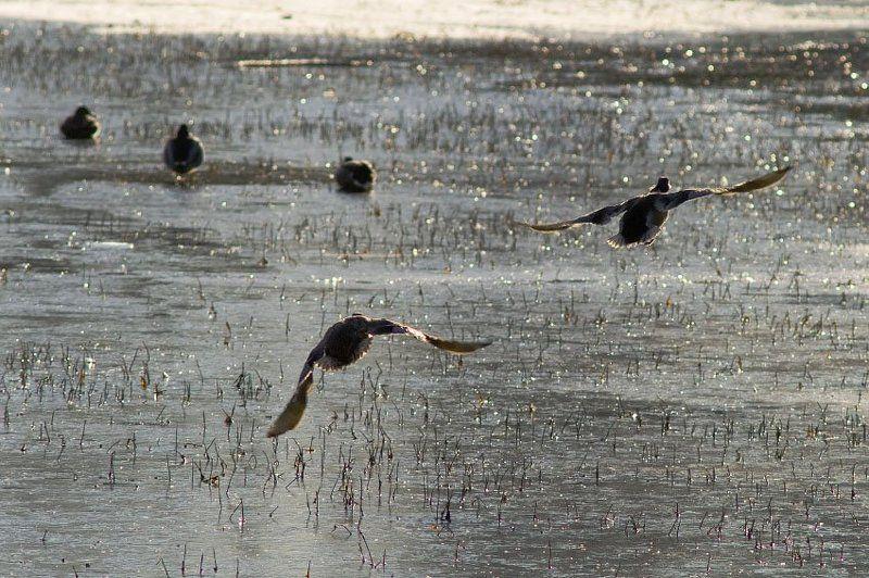утки, осень, лед Набираем высоту и курс на Югphoto preview