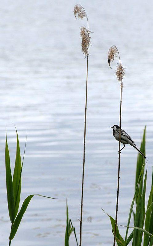 птичка, травинка, вода, природа про птичку-пичужкуphoto preview