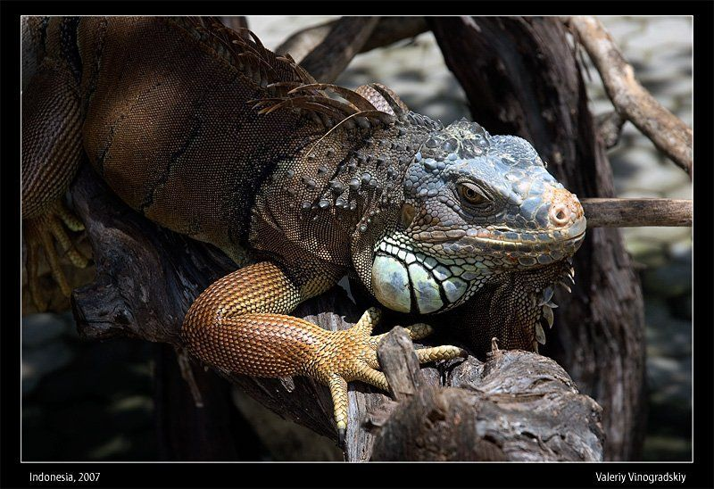 игуана ящерица бали Потомок динозавровphoto preview