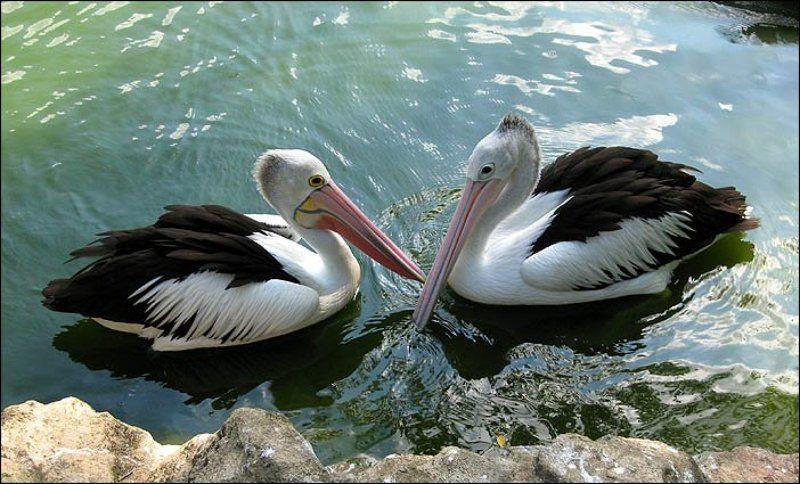 сингапур, птичий парк, пеликан, любовь Пеликанья любовьphoto preview