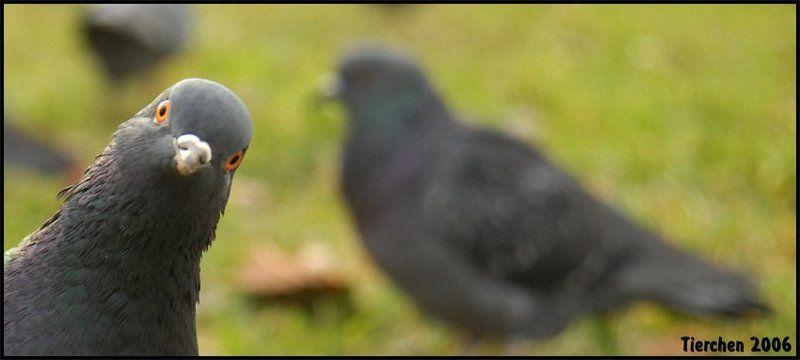 голубь, офигевший, привет, птица, кучиев александр wazup?photo preview