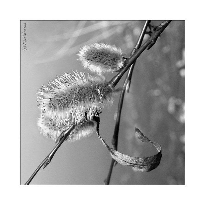 ветка, верба, весна Весенний этюдphoto preview