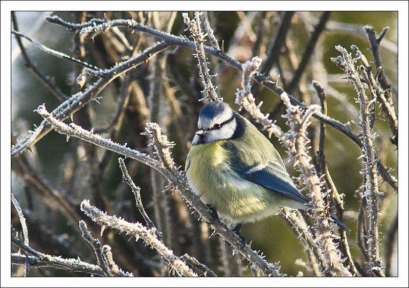 синица,птица,мороз,зима Морозный портрет голубой синицыphoto preview