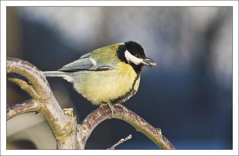 синица,птица,обед Обедphoto preview