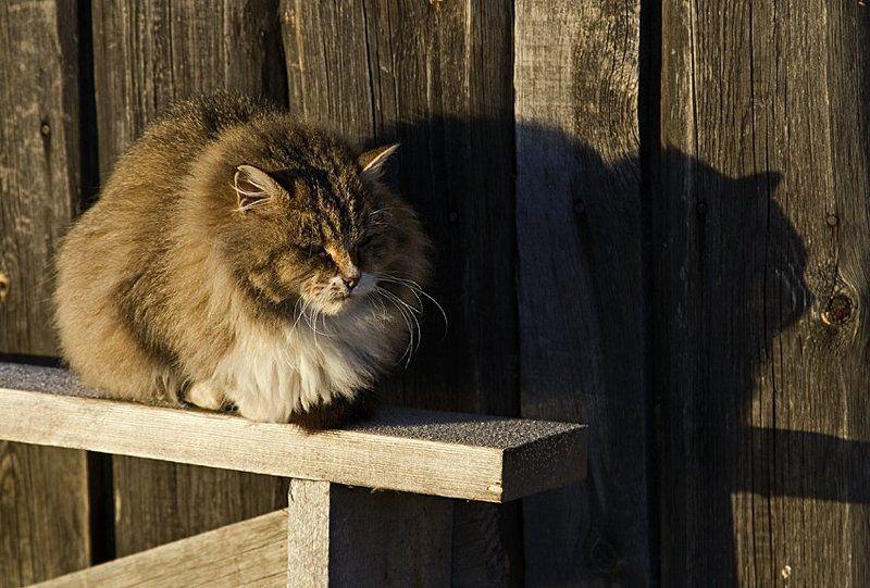 котище Январское солнышкоphoto preview