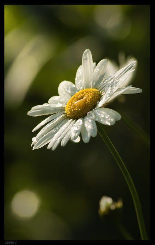 лето ромашка капельки *photo preview