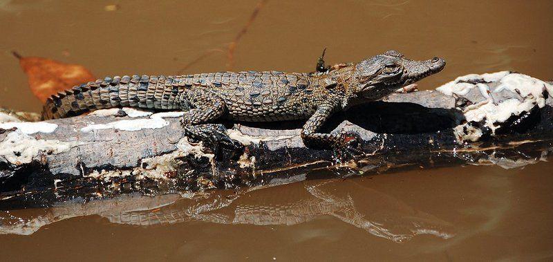 крокодил, мексика Из жизни крокодиловphoto preview