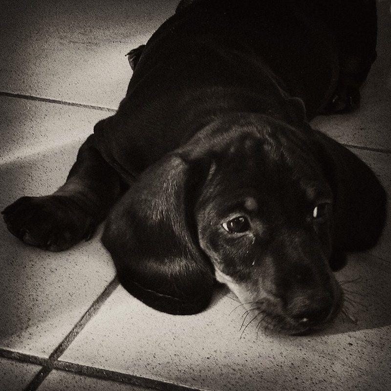 щенок, собака, такса Федькино детствоphoto preview