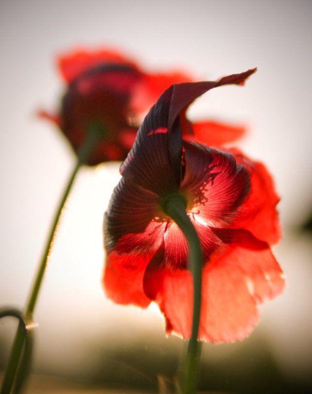 маки, красный, лето, цветы photo preview