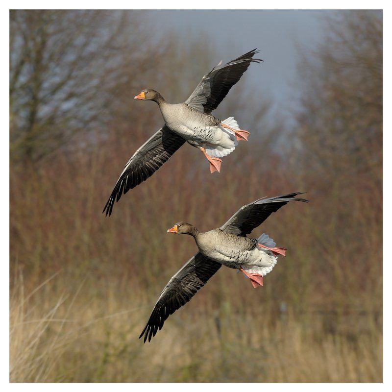 дикие гуси, серые гуси, anser anser, the netherlands Cинхронный полетphoto preview