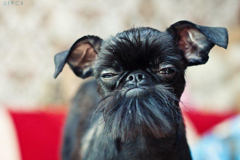 гриффон, собака photo preview