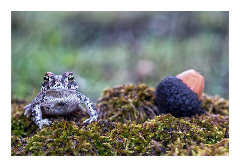 macro animals amphibian anuros fauna nature Sapo bellotaphoto preview