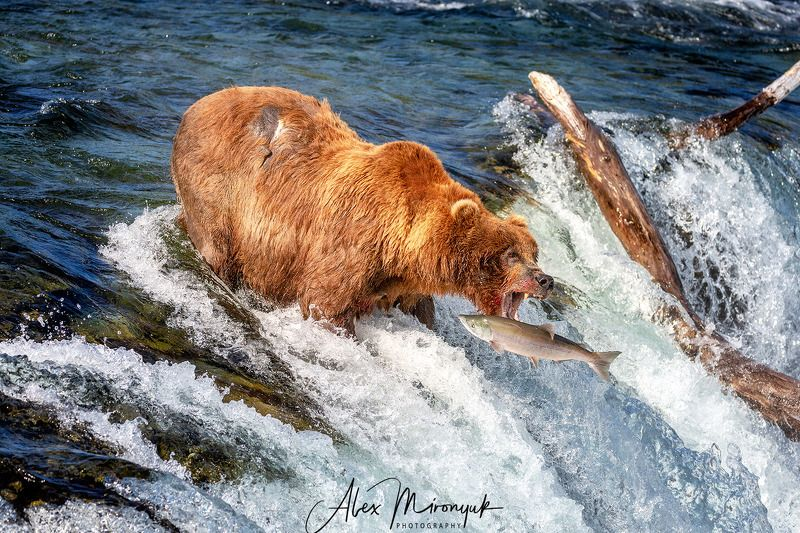 сша, аляска, медведь, гризли, рыбалка, лосось, вода, река, природа, дикая Catch of the dayphoto preview