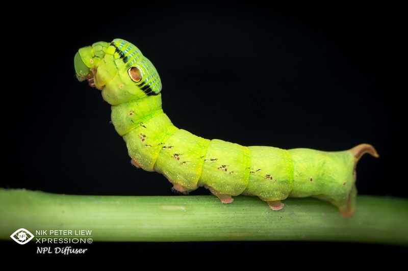#green, caterpillar, #nature, #npl Little Green Puppy monsterphoto preview