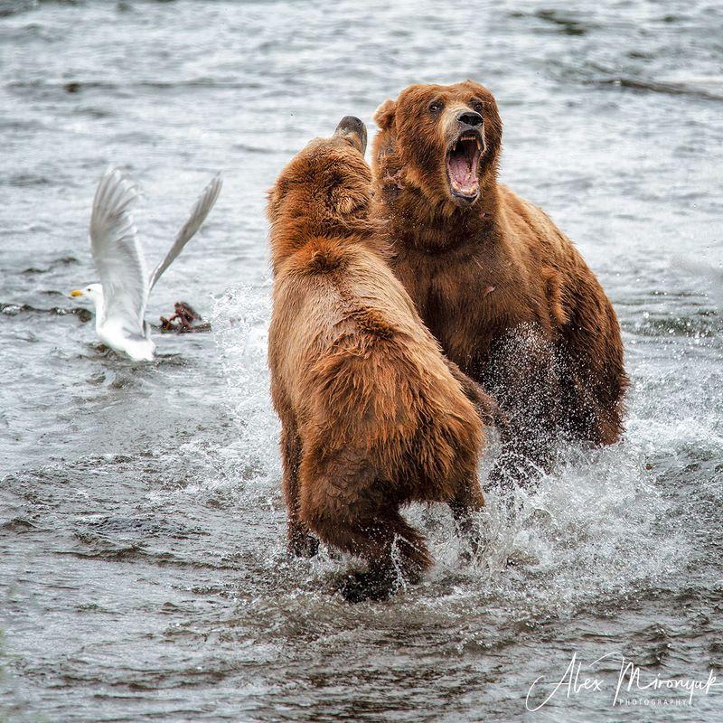 сша, аляска, медведь, гризли, рыбалка, лосось, вода, река, природа, дикая Схваткаphoto preview