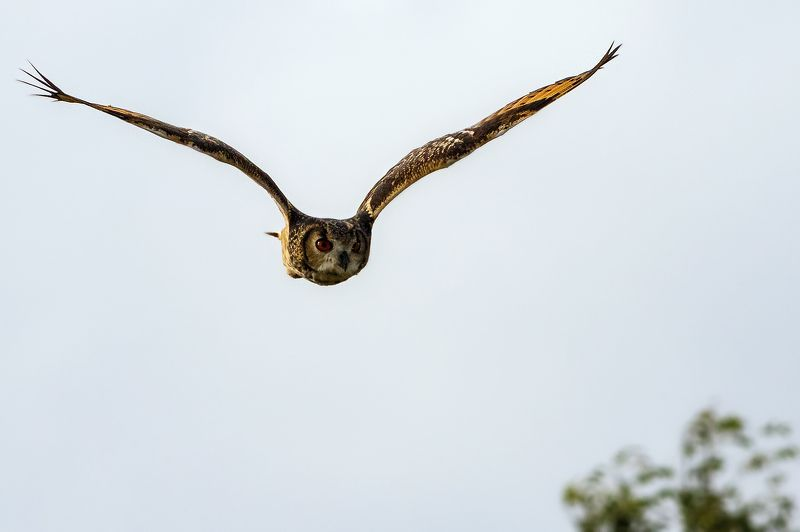 Indian Eagle Owl!photo preview