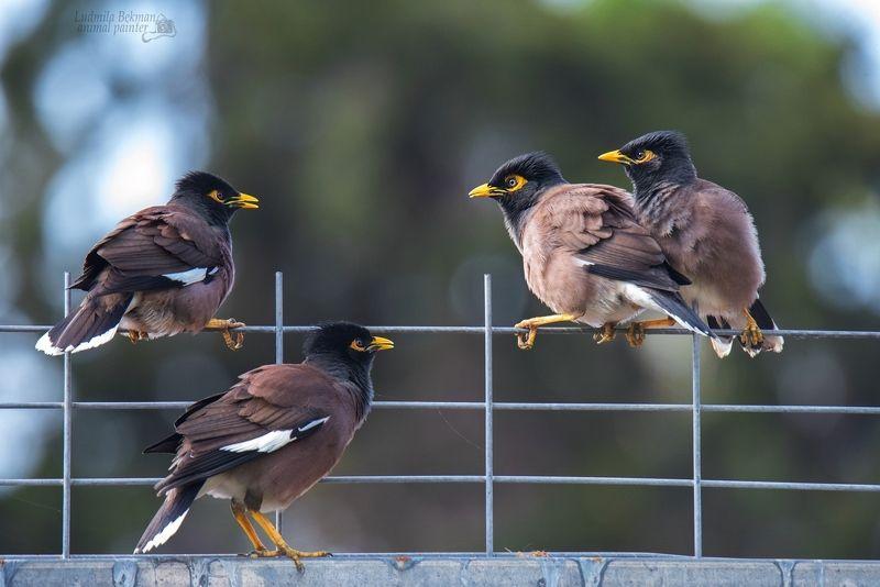 скворцы, майна, забор Назревающий конфликтphoto preview