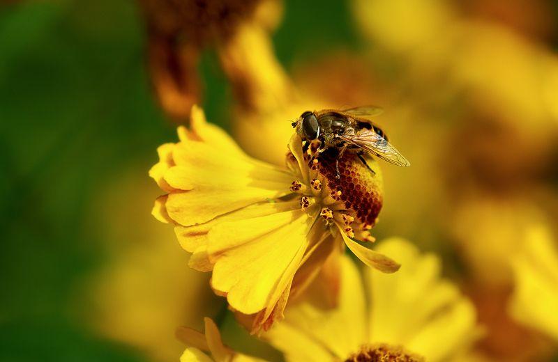 макро; пчела \