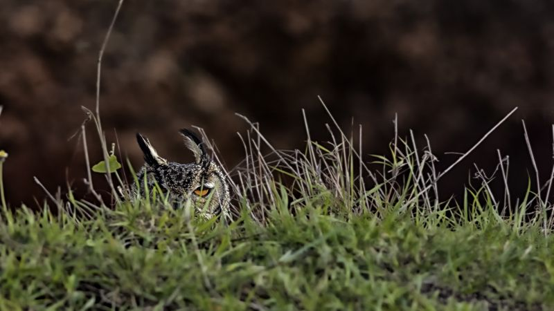 indian eagle owl Indian Eagle Owlphoto preview