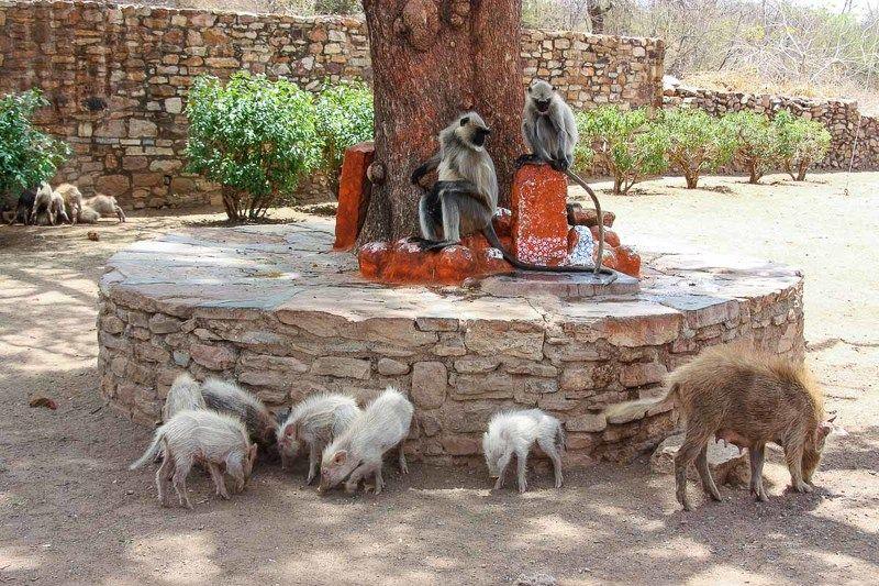 Читоугарх, Раджастан, Индия, обезьяны, свиньи, поросята, животные Индийская идиллияphoto preview