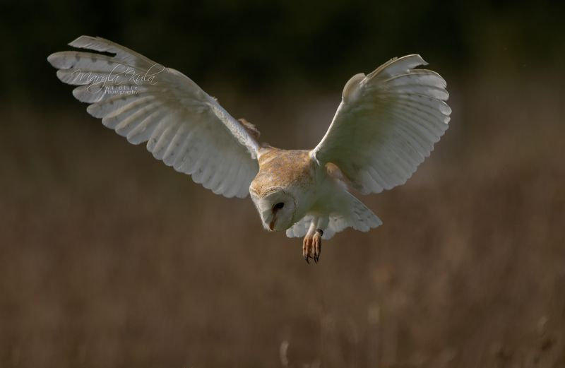 barn owl, bird, birds of prey, nature, wildlife, canon, sigma Barn Owlphoto preview
