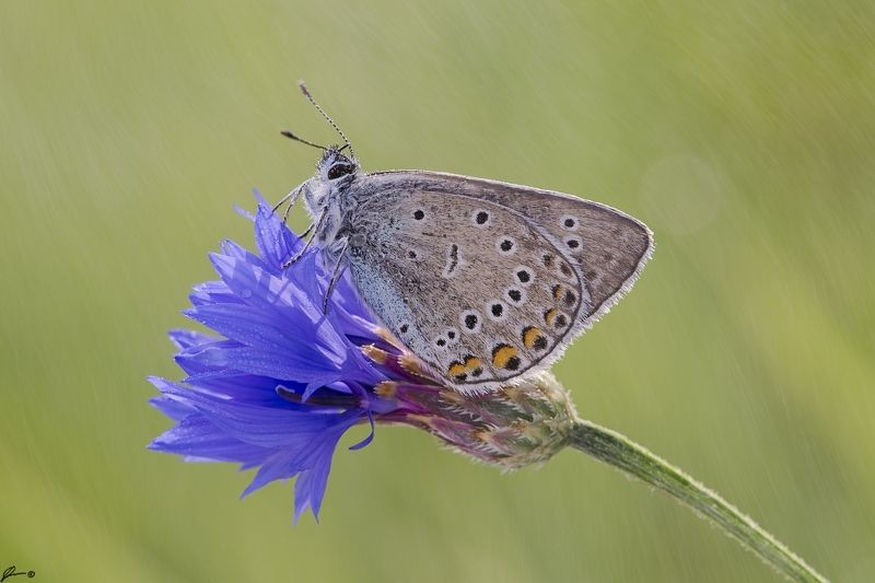 macro, makro, flowers, wild, wildlife, buttrrfly, nature, insects Polyommatus icarusphoto preview