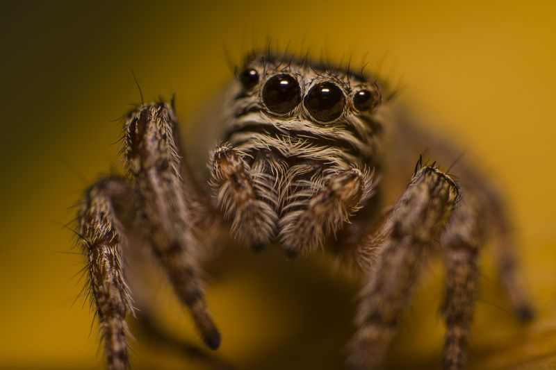 макро, паук, паук-скакун, природа ****photo preview