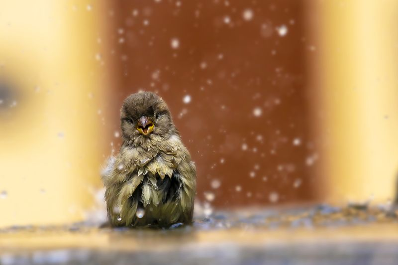воробей, улыбка, природа, животные, птицы Мой старый добрыйphoto preview