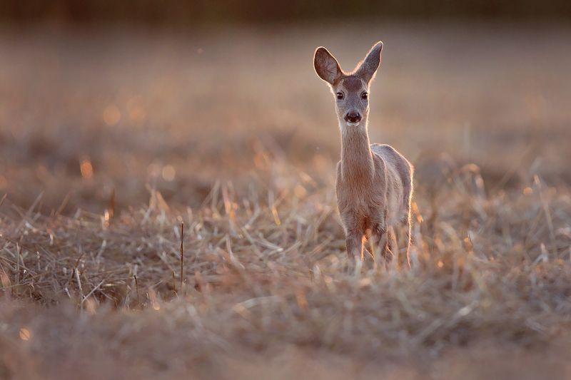 red deer, deer, wildlife Roe deerphoto preview