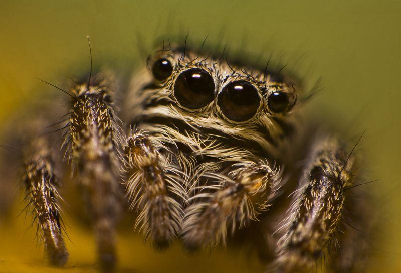 паук, макро, природа, глаза, взгляд, портрет Взглядphoto preview