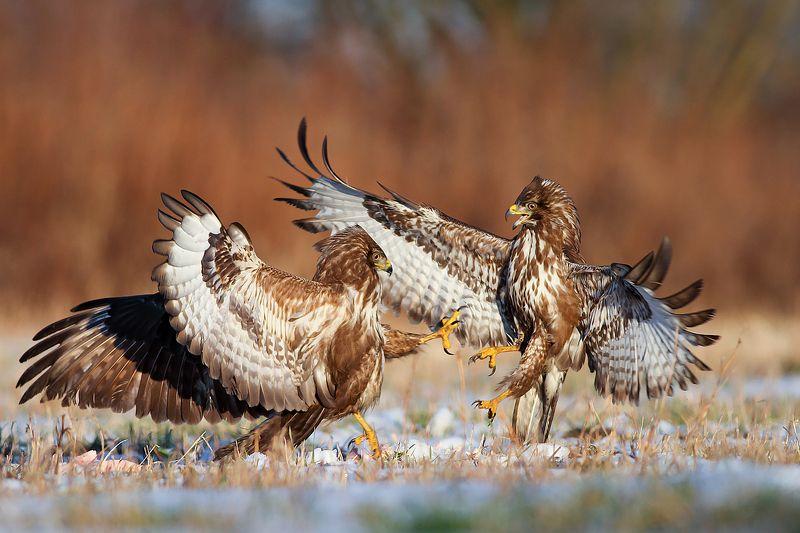 buzzard, wildlife, birds, poland, hawk photo preview
