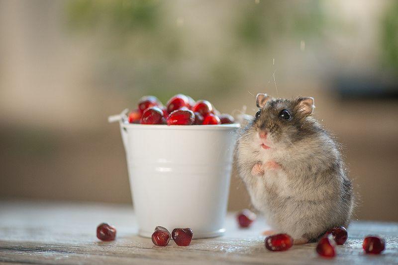 хомяк, гранат, животные любитель ягодкиphoto preview