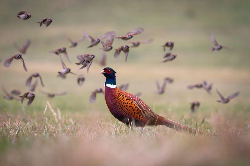 pheasant, tree sparrow, wildlife ***photo preview