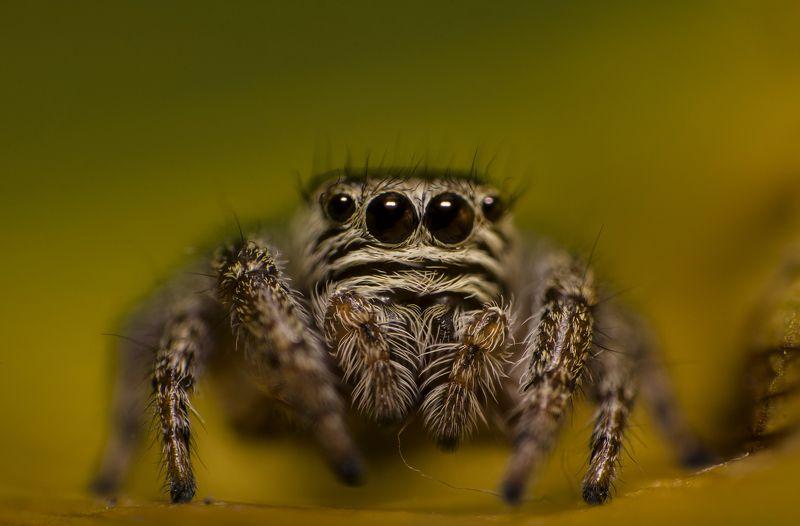 макро, паук, природа, удивление, глаза, животные ****photo preview