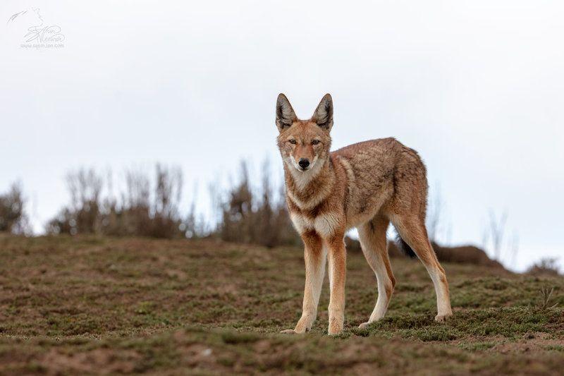 Эфиопский волк (Ethiopian wolf)photo preview