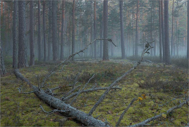 бор, рассвет, туман, лес, валежник Рассвет в сосновом боруphoto preview