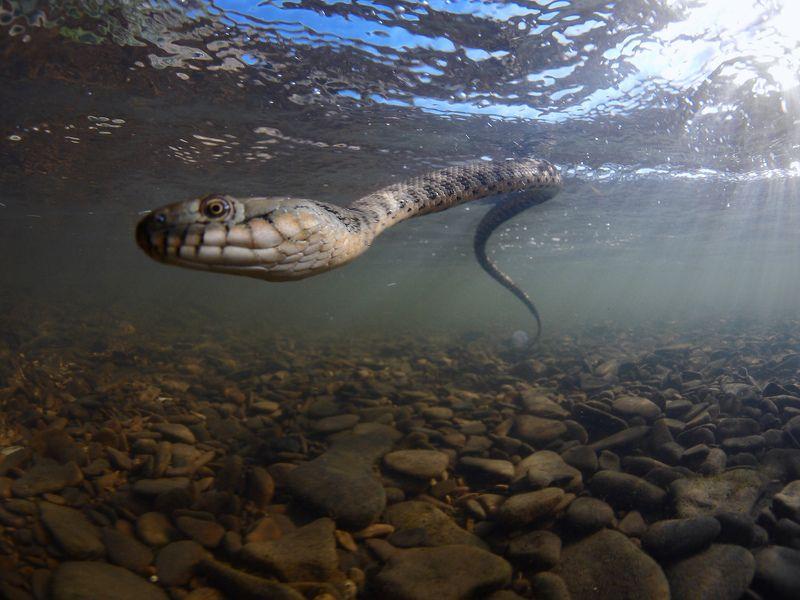 водяной уж, подводная съемка, Дагестан Водяной ужphoto preview